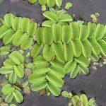 El helecho acuático es una planta perenne