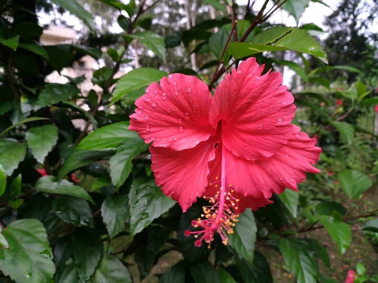 El hibisco rosa sinensis es un arbusto que florece en primavera y verano
