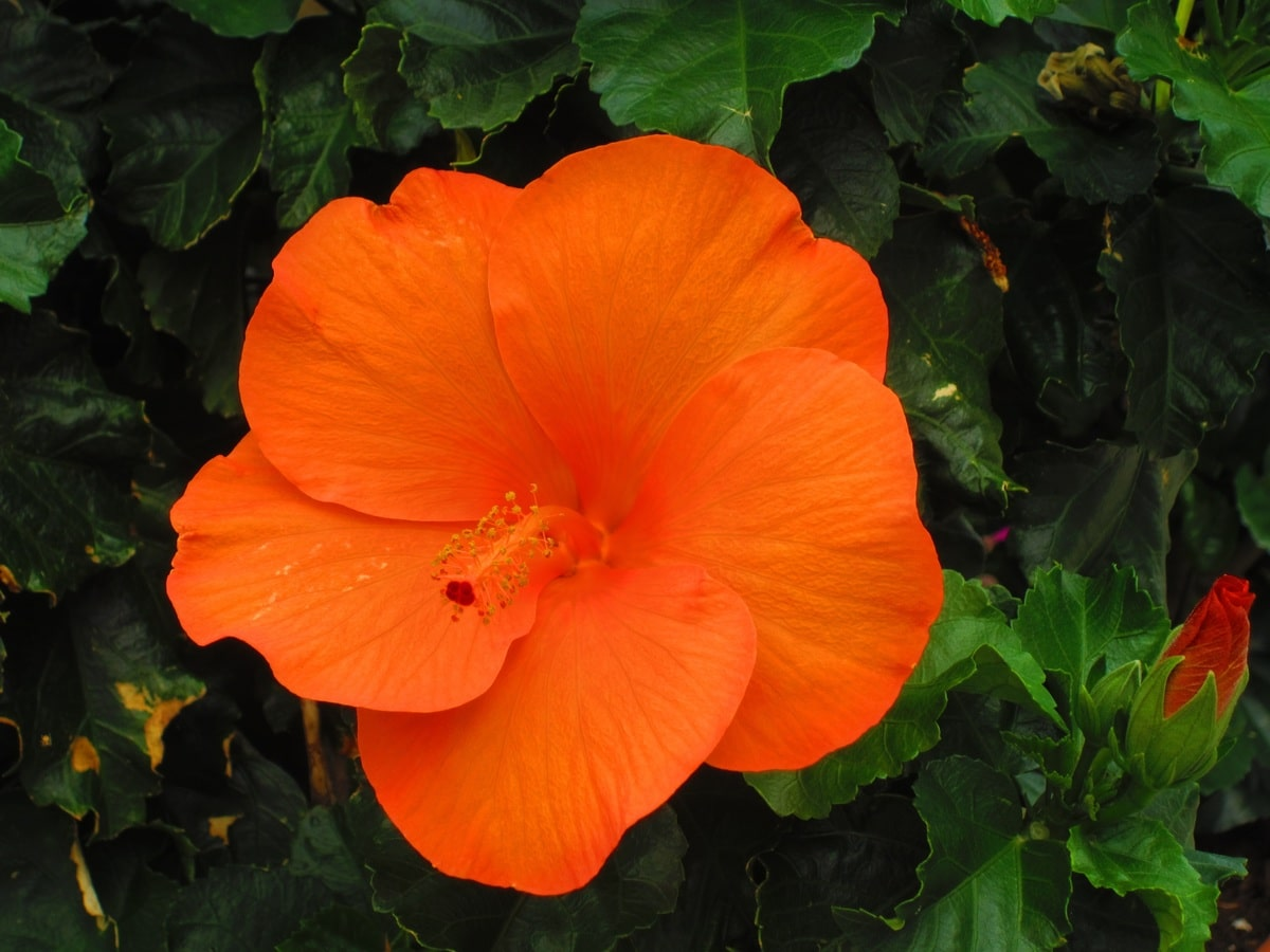 El hibisco es un arbusto de flores grandes y bonitas