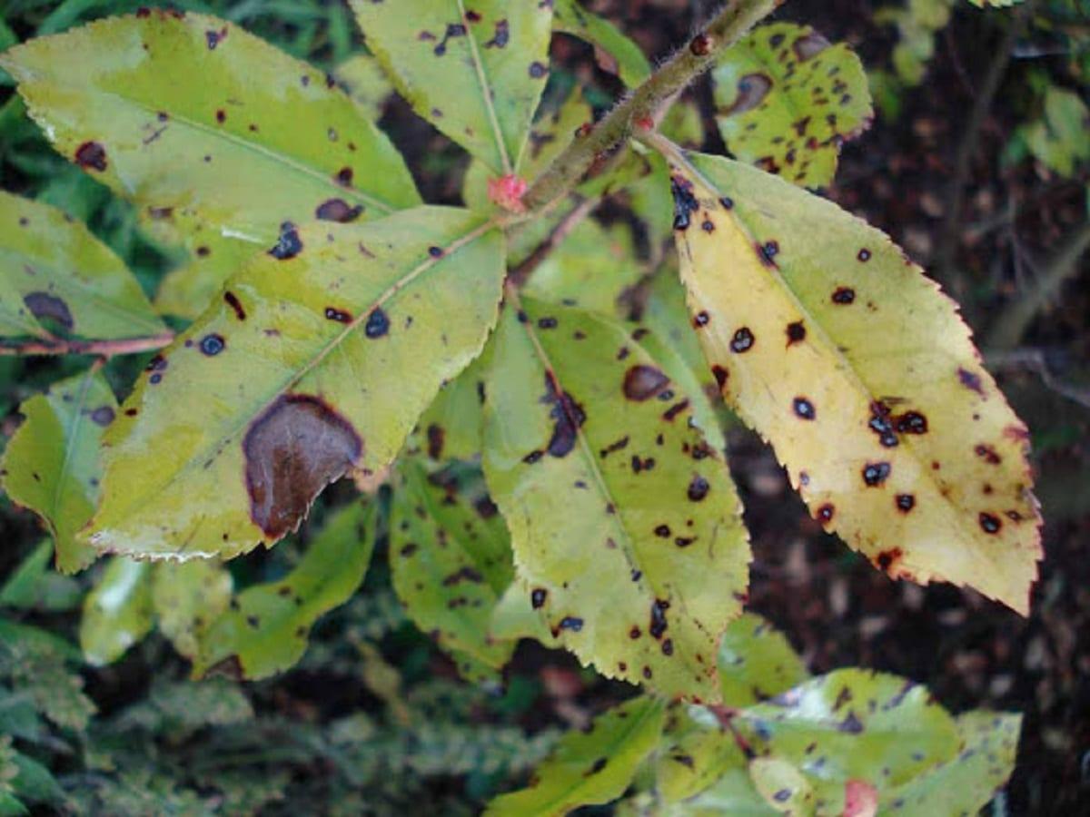hojas de madrono atacados por Septoriosis