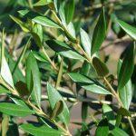El olivo en maceta es fácil de cuidar