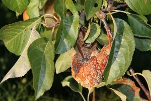 La momificación de los frutos es un problema común