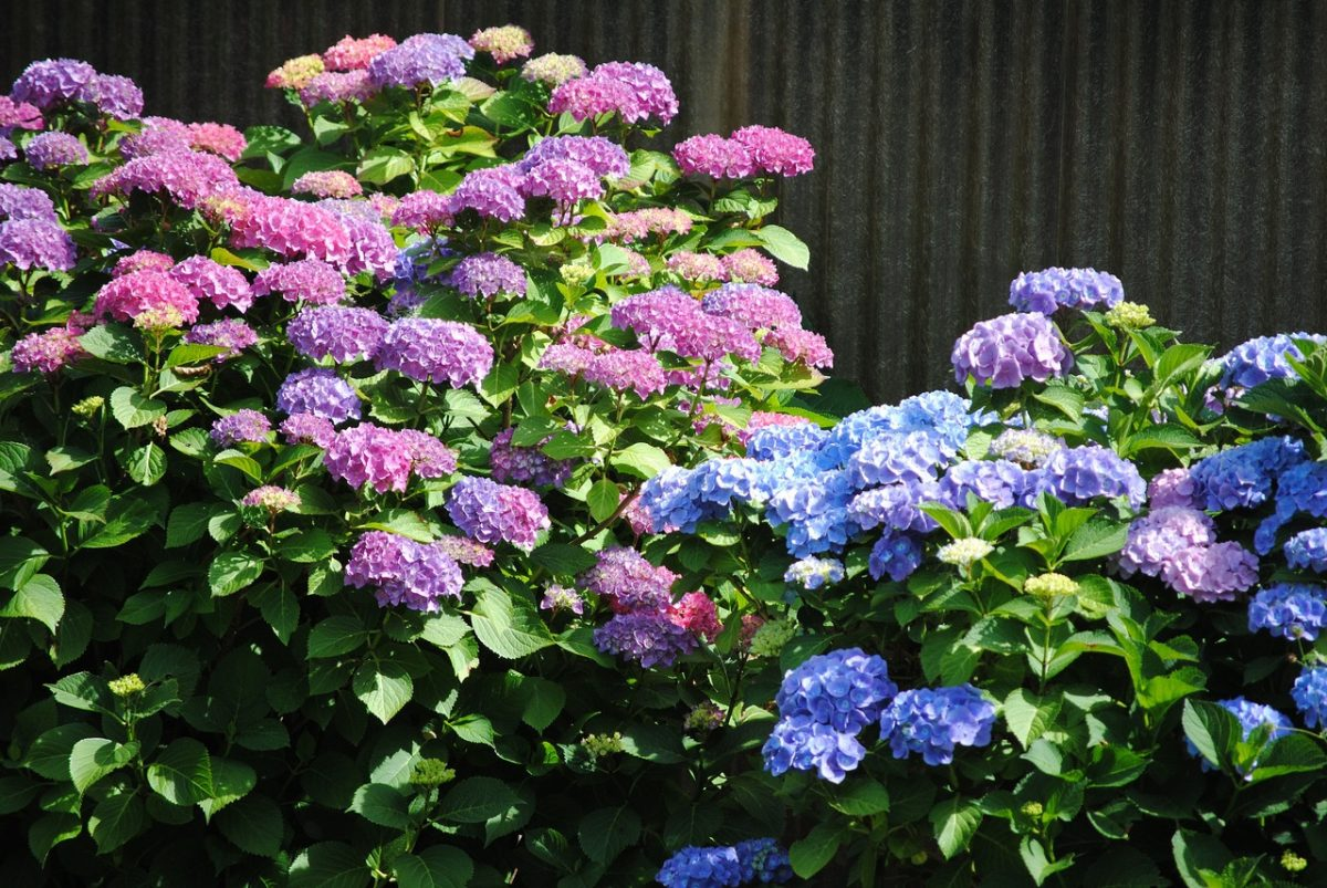 Las hortensias son arbustos perfectos para jardineras