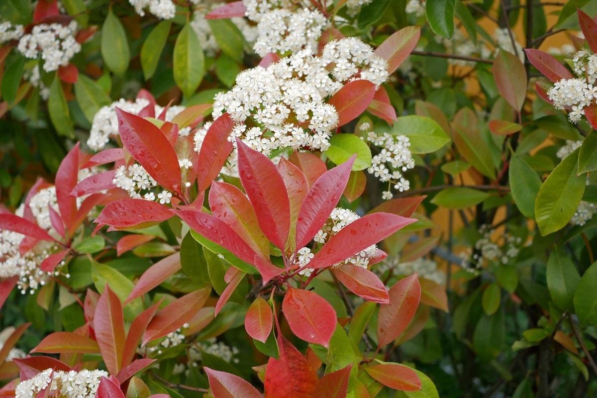 imagen de la Photonia glabra con flores blancas