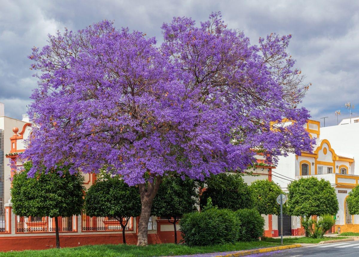 El jacaranda es un árbol que se conoce como palisandro