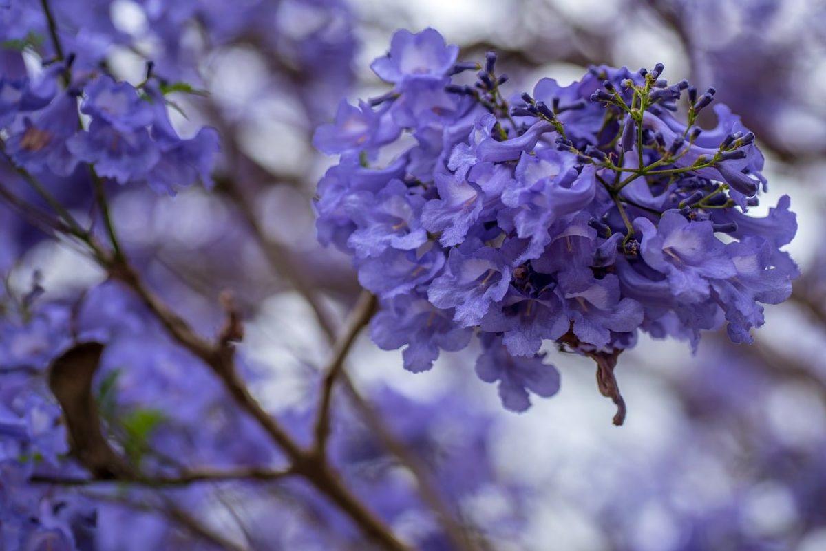 El jacarandá es un árbol conocido como palisandro