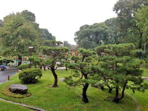 jardin con Pino negro japonés