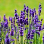 La lavanda es una mata que produce flores en primavera y verano, ideal para el exterior