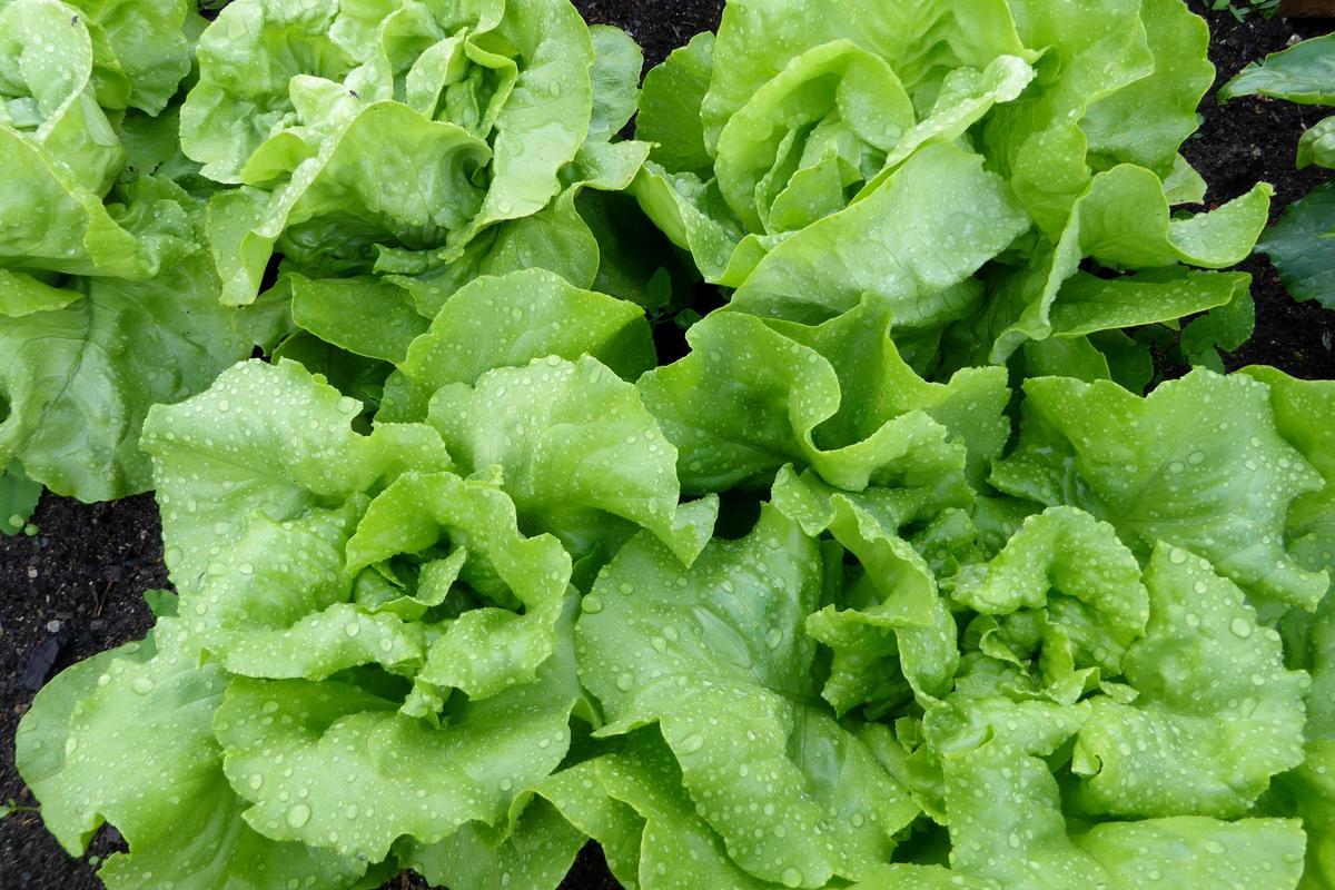 Las lechugas son plantas perfectas para cultivar en jardineras