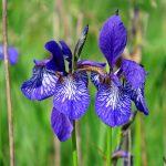 El lirio de agua es una planta de flor preciosa