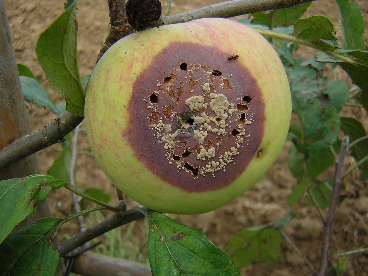 La momificación de los frutos es una enfermedad seria