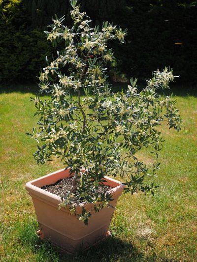 El olivo en maceta se ha de tener en el exterior