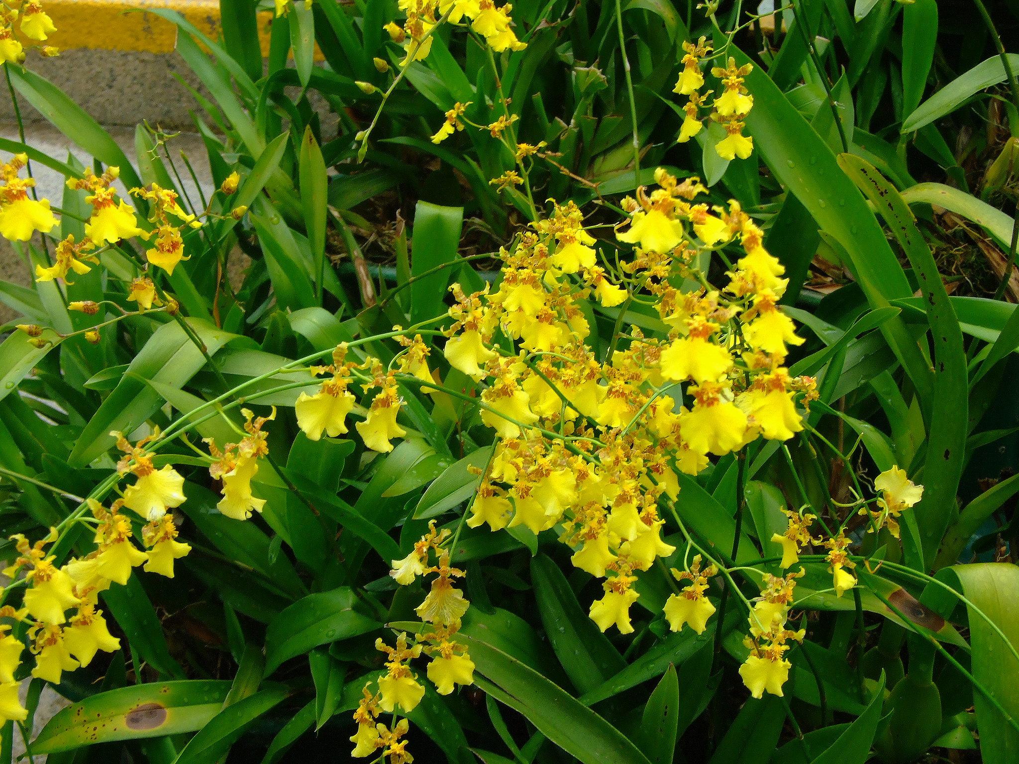 El Oncidium flexuosum produce flores amarillas