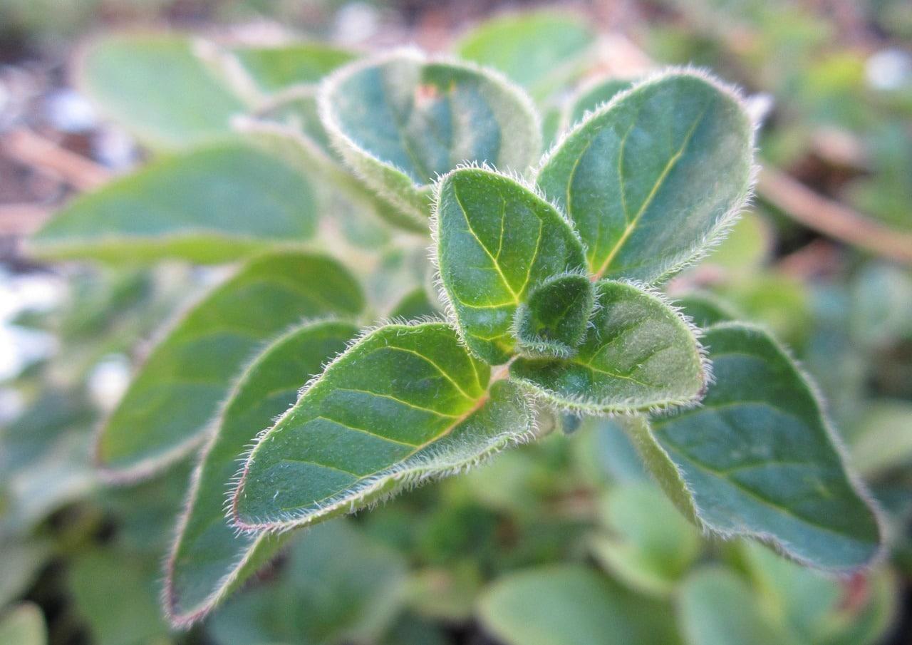 El orégano es una planta que crece rápido