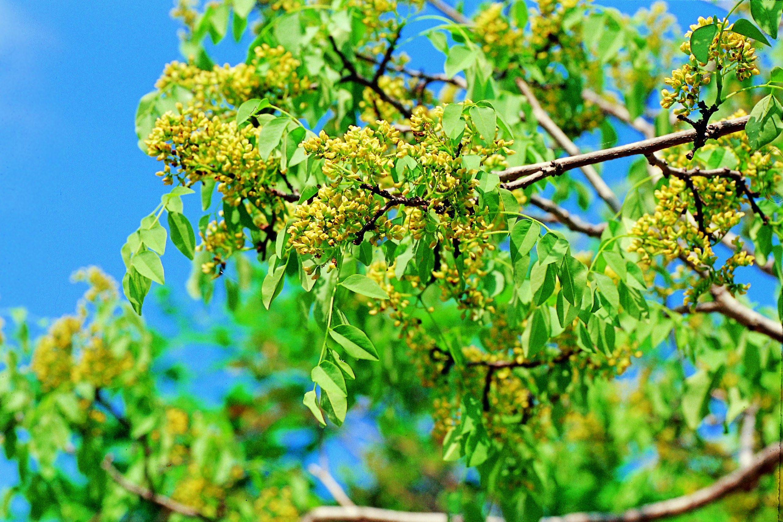 El palisandro de Brasil es un árbol ornamental
