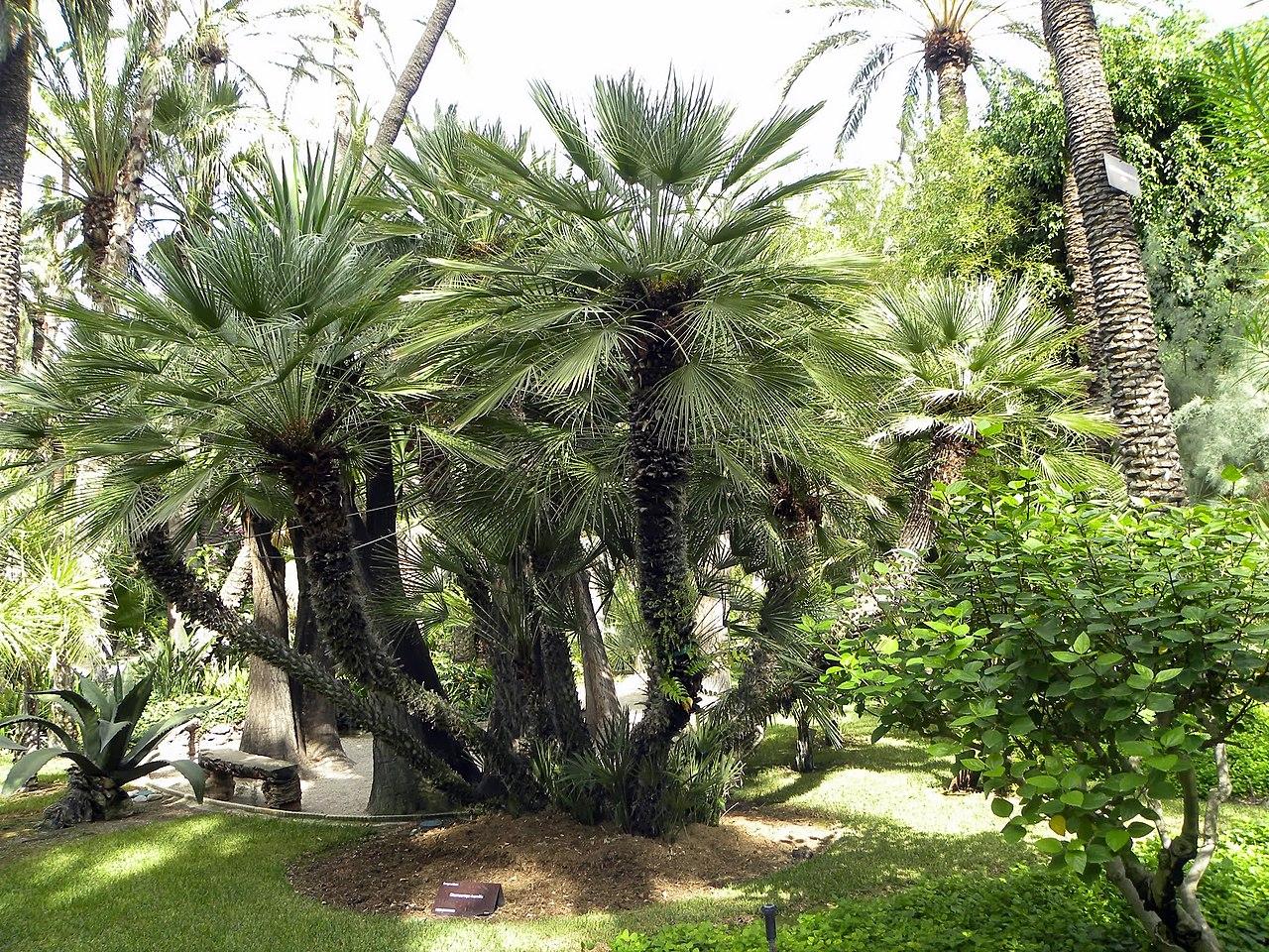 El palmito es una palmera mediterránea