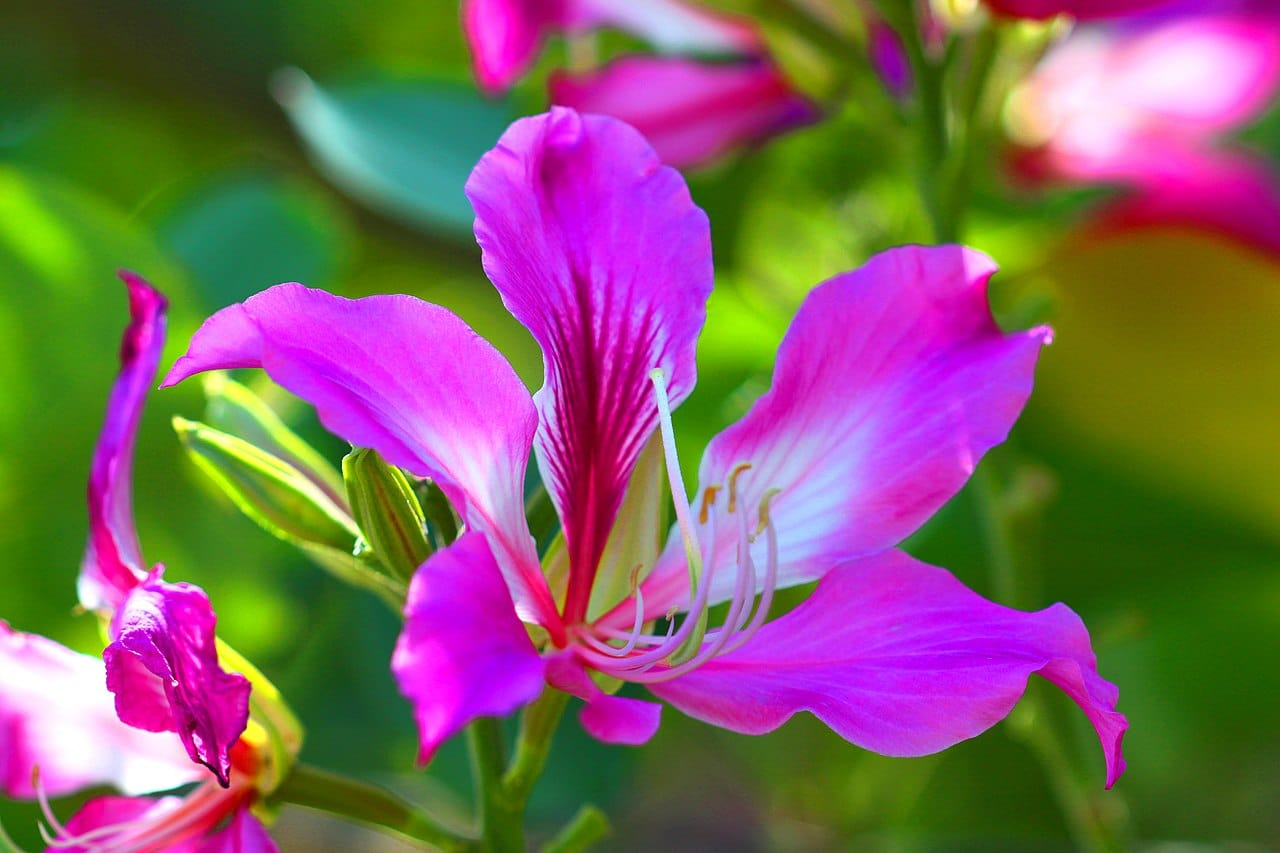 La Bauhinia purpurea es un árbol que produce flores púrpuras