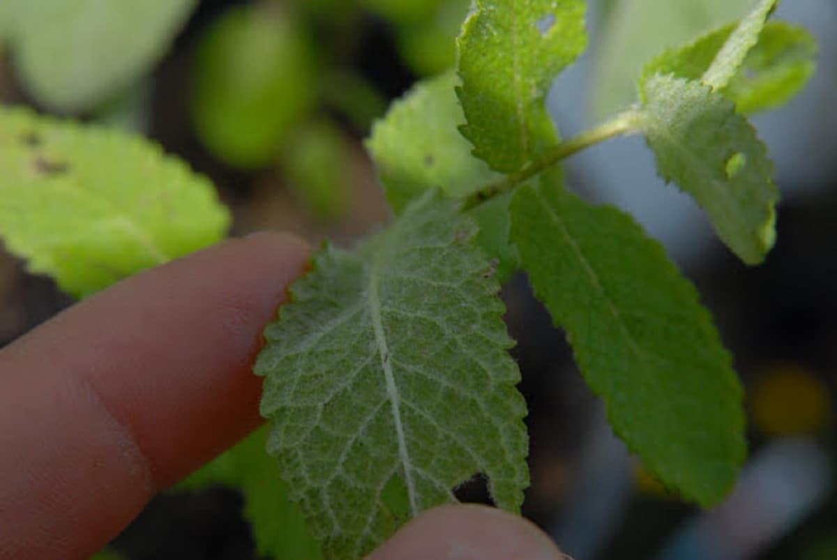 persona ensenando las hojas de la Mentha suaveolens
