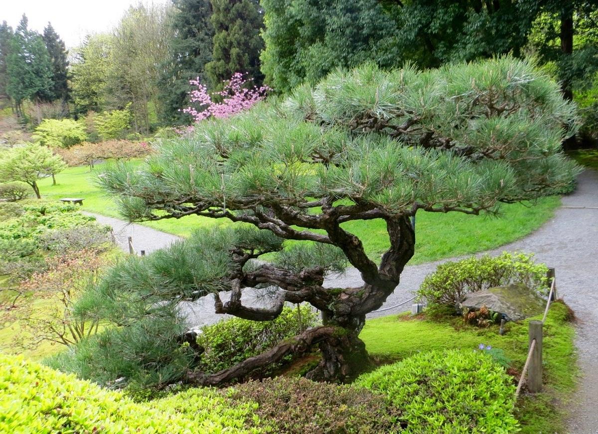 pino con tronco pequeno llamado Pino negro japonés