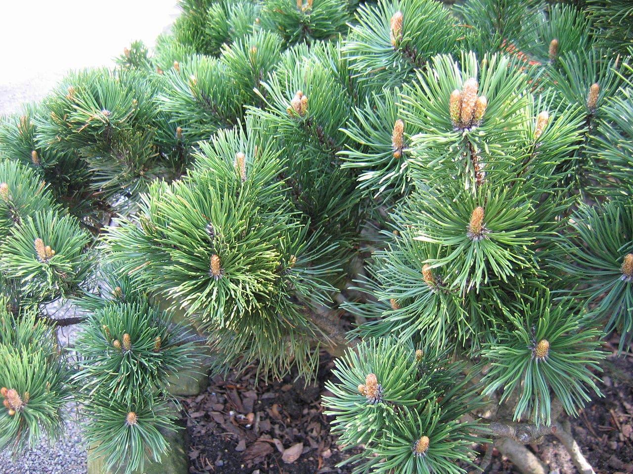 El Pinus mugo es un arbolito pequeño