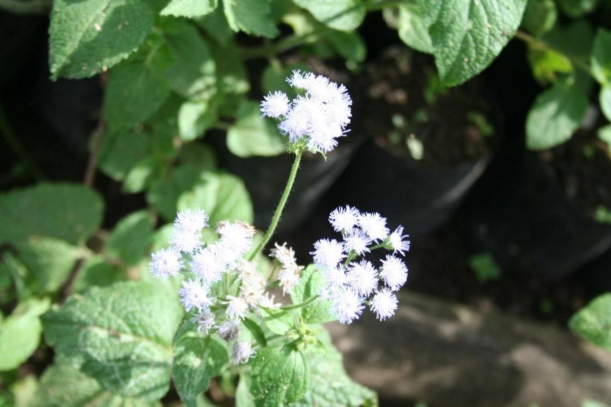 planta con flores de color blanco que luego se vuelven moradas