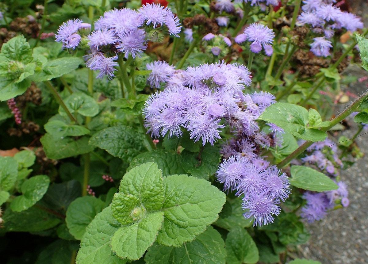 planta en una entrada con flores muy finas de color lila o morado