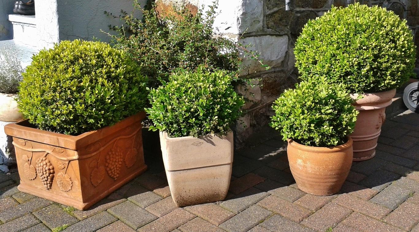 Hay muchas plantas que puedes tener en tu terraza, como los boj