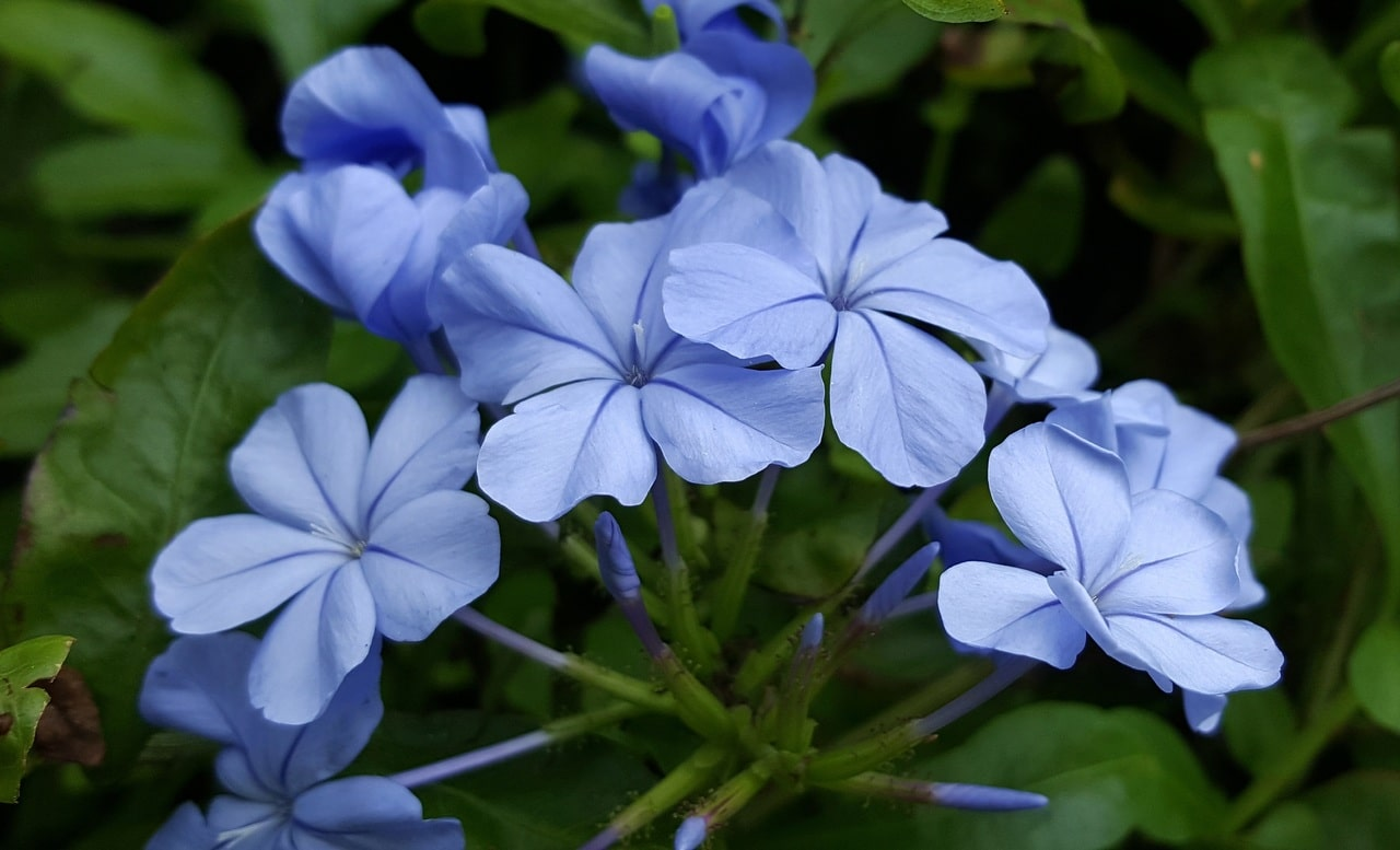 El plumbago es un arbusto que se puede utilizar como trepadora en jardineras con celosías