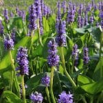La Pontederia es una planta herbácea perenne