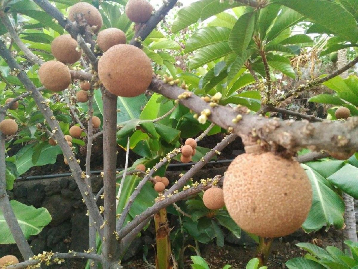 ramas de arbol frutal con frutas de color marron