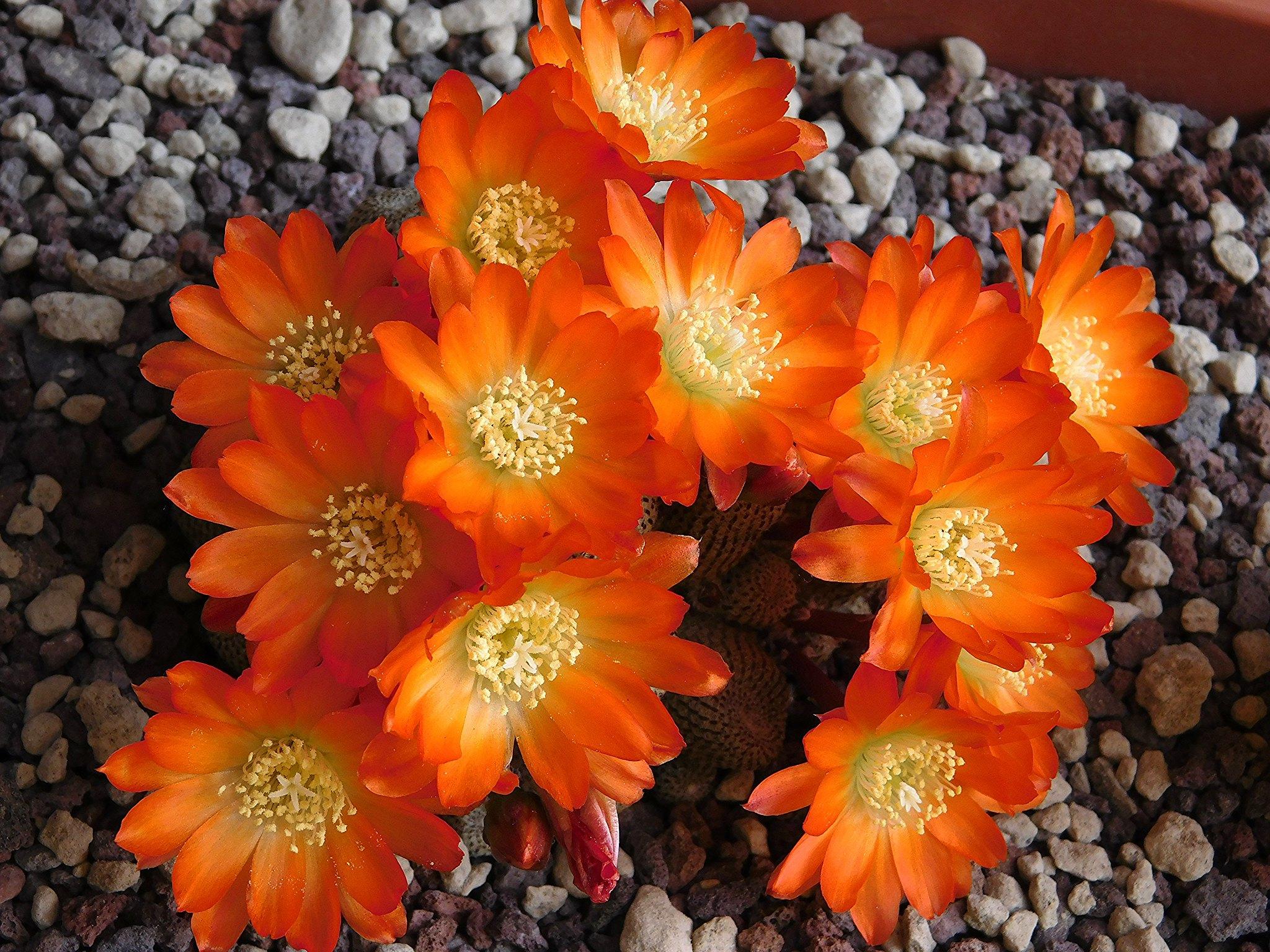 La Rebutia heliosa es un cactus que produce flores naranjas