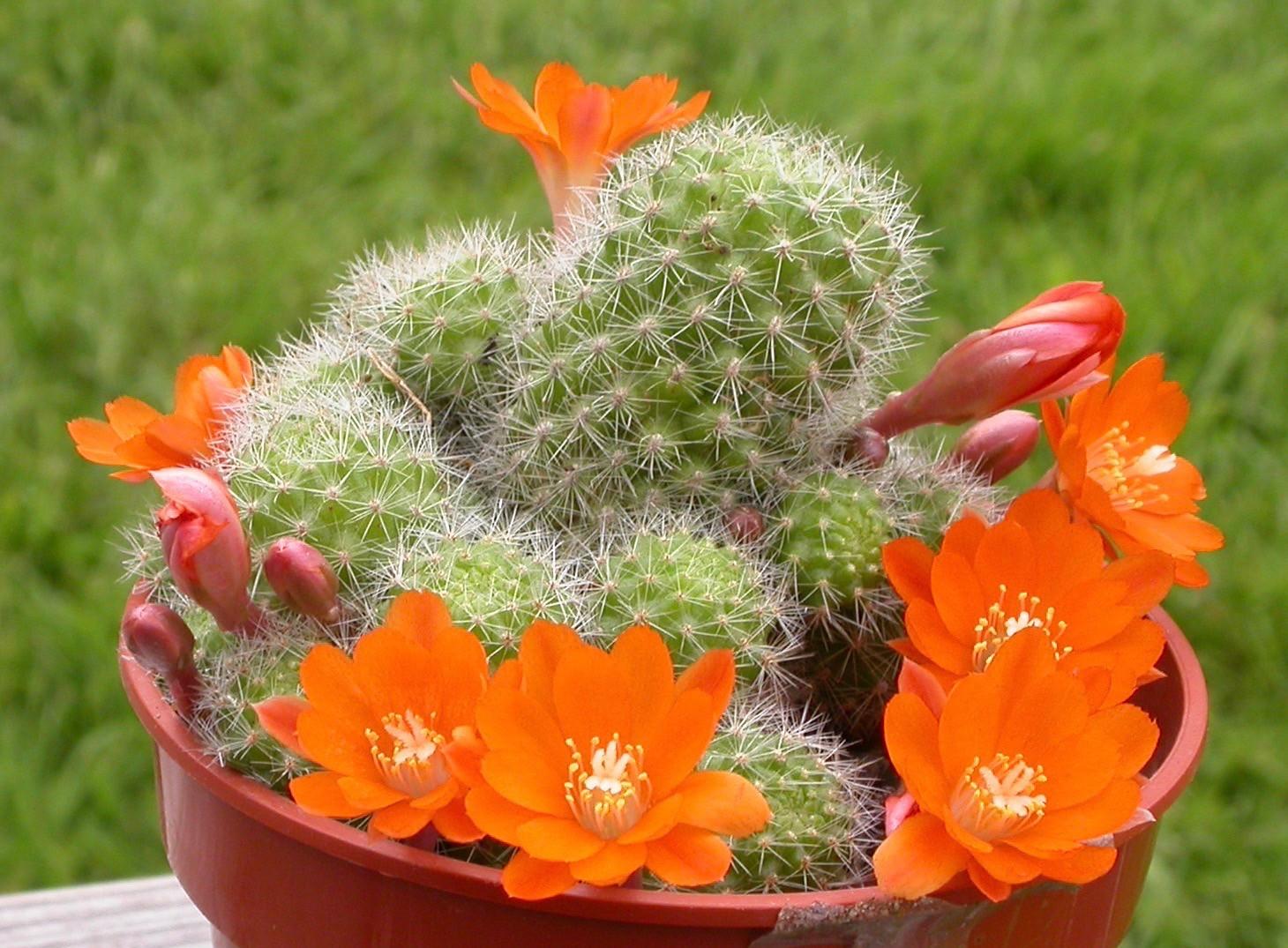 La Rebutia pulvinosa es un cactus pequeño que produce flores naranjas