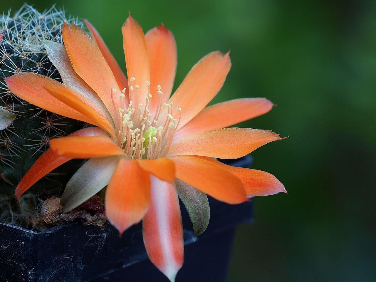 La Rebutia es un tipo de cactus que produce flores preciosas