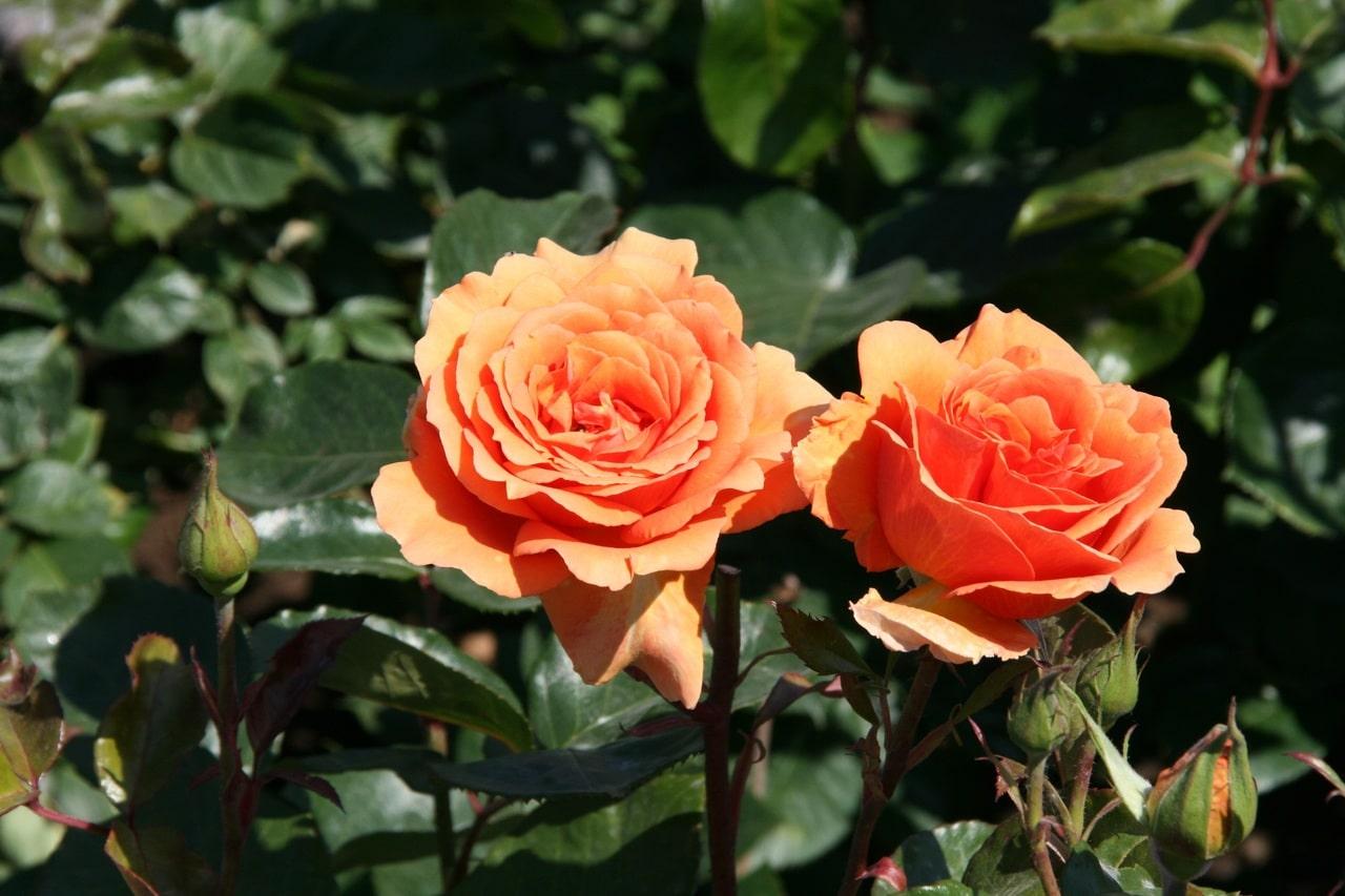 Los rosales quieren riegos muy frecuentes en verano