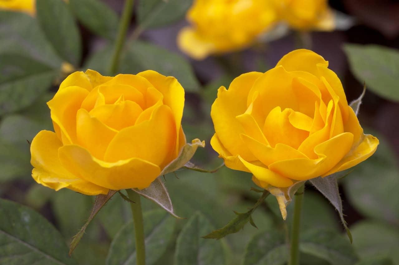 Las rosas son arbustos que florecen todo el año