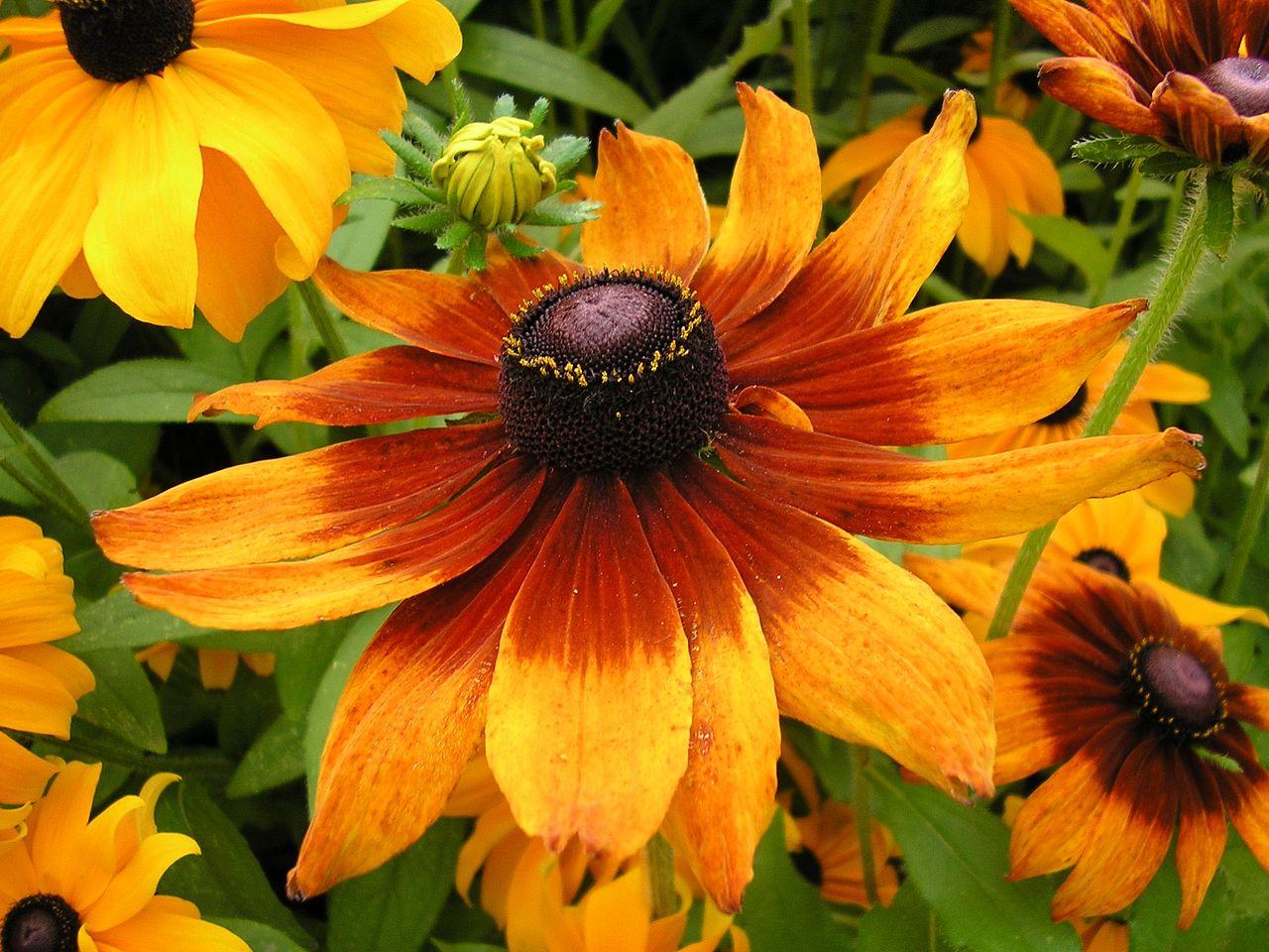 La Rudbeckia es una planta que produce flores vistosas