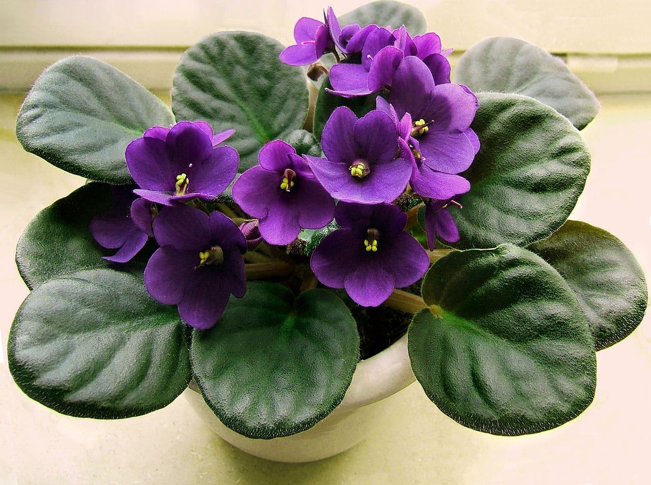 La violeta africana es una planta pequeña que produce flores bonitas