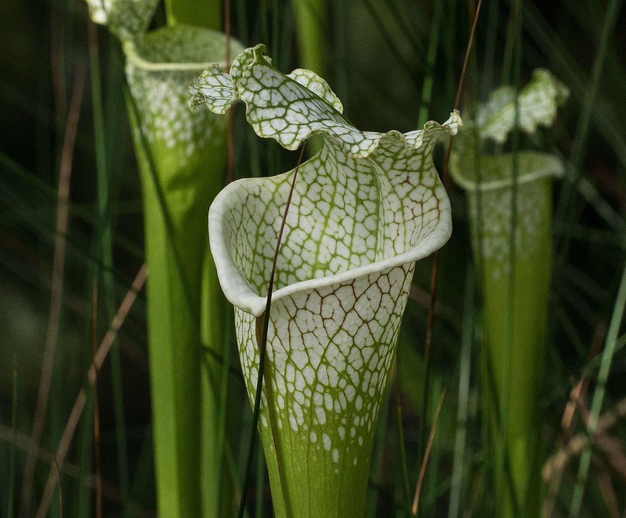 La Sarracenia leucophylla se hibrida con facilidad
