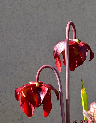 Las flores de la Sarracenia leucophylla son carmesíes
