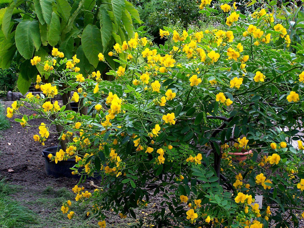La Cassia corymbosa es un arbusto ideal para terrazas