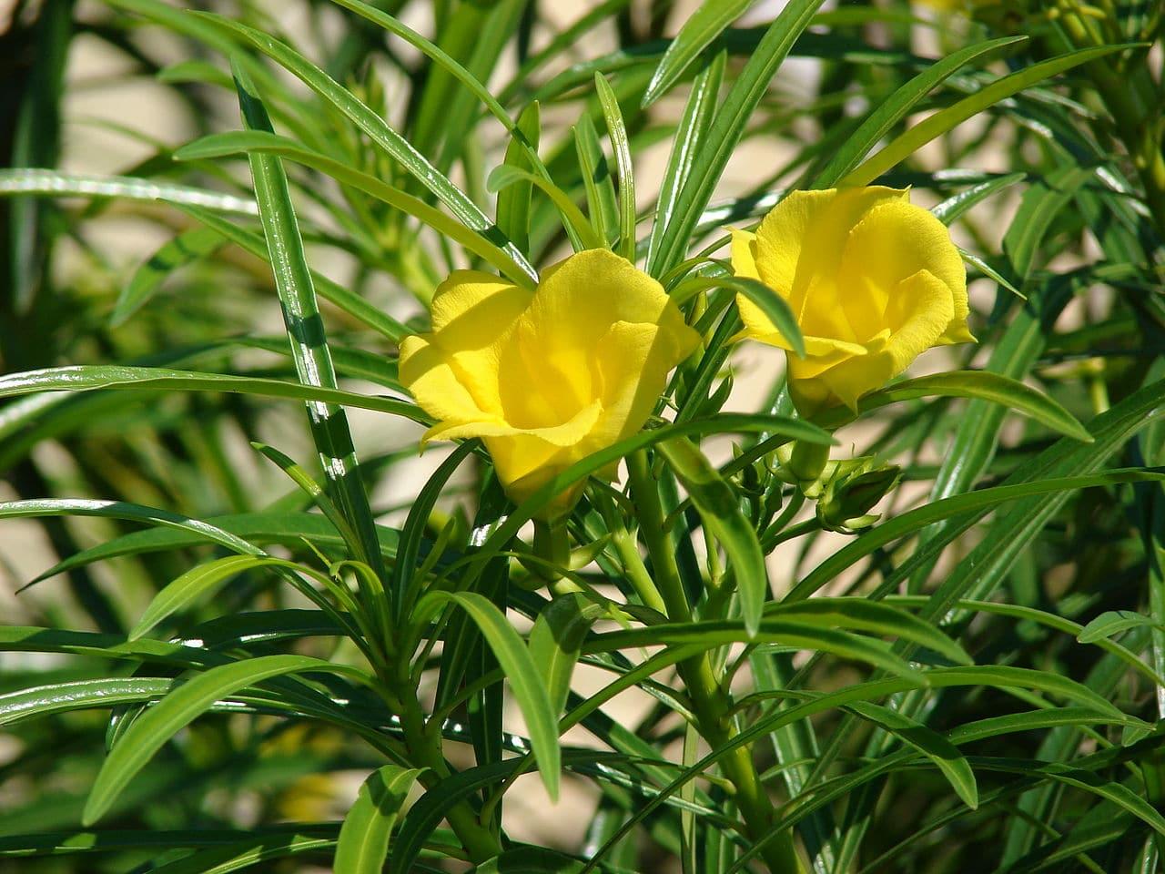 La Thevetia peruviana es un arbusto de flores amarillas