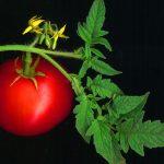 La tomatera crece bien en jardineras
