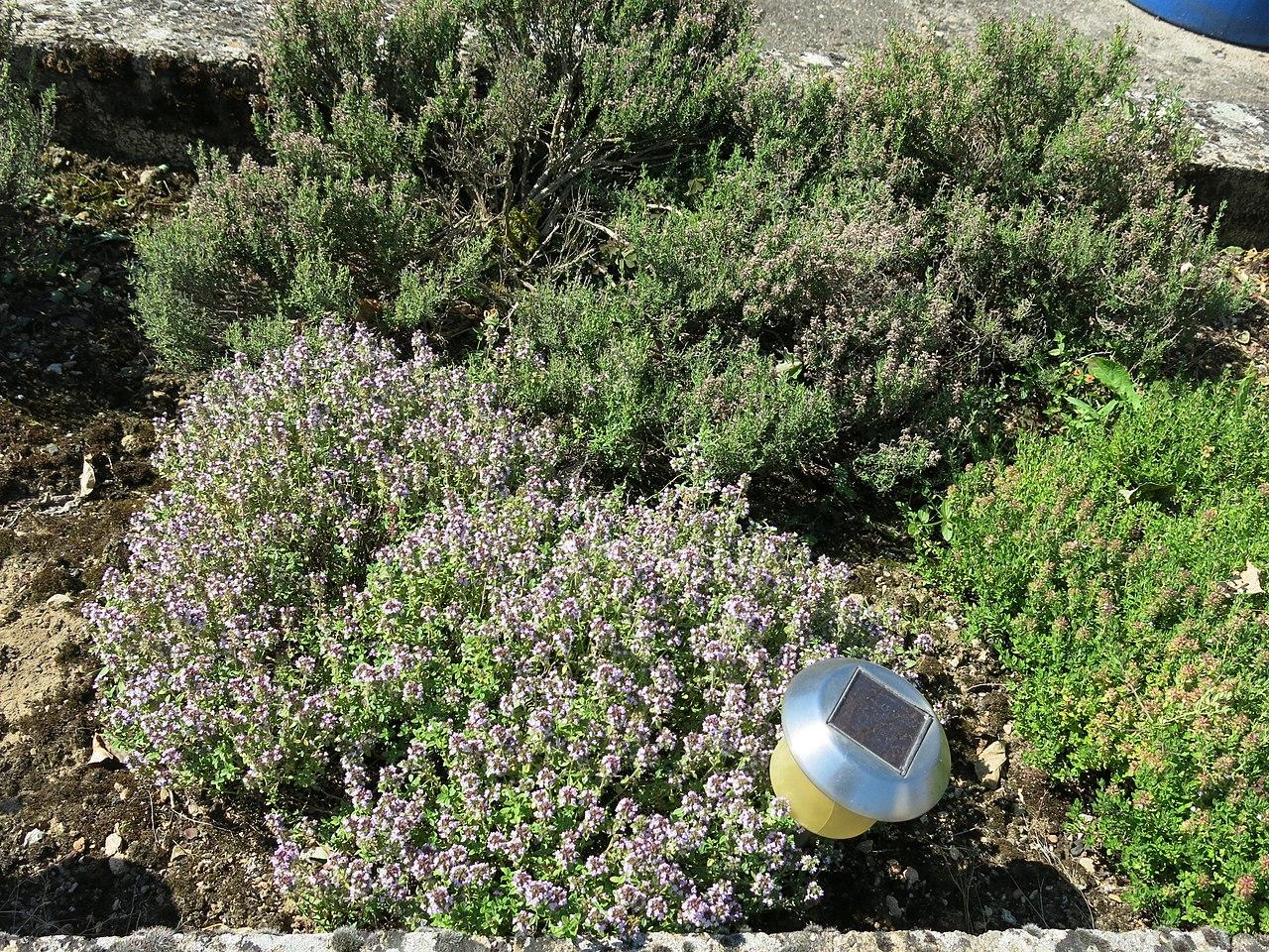 Plantar tomillo en el jardín es una tarea sencilla