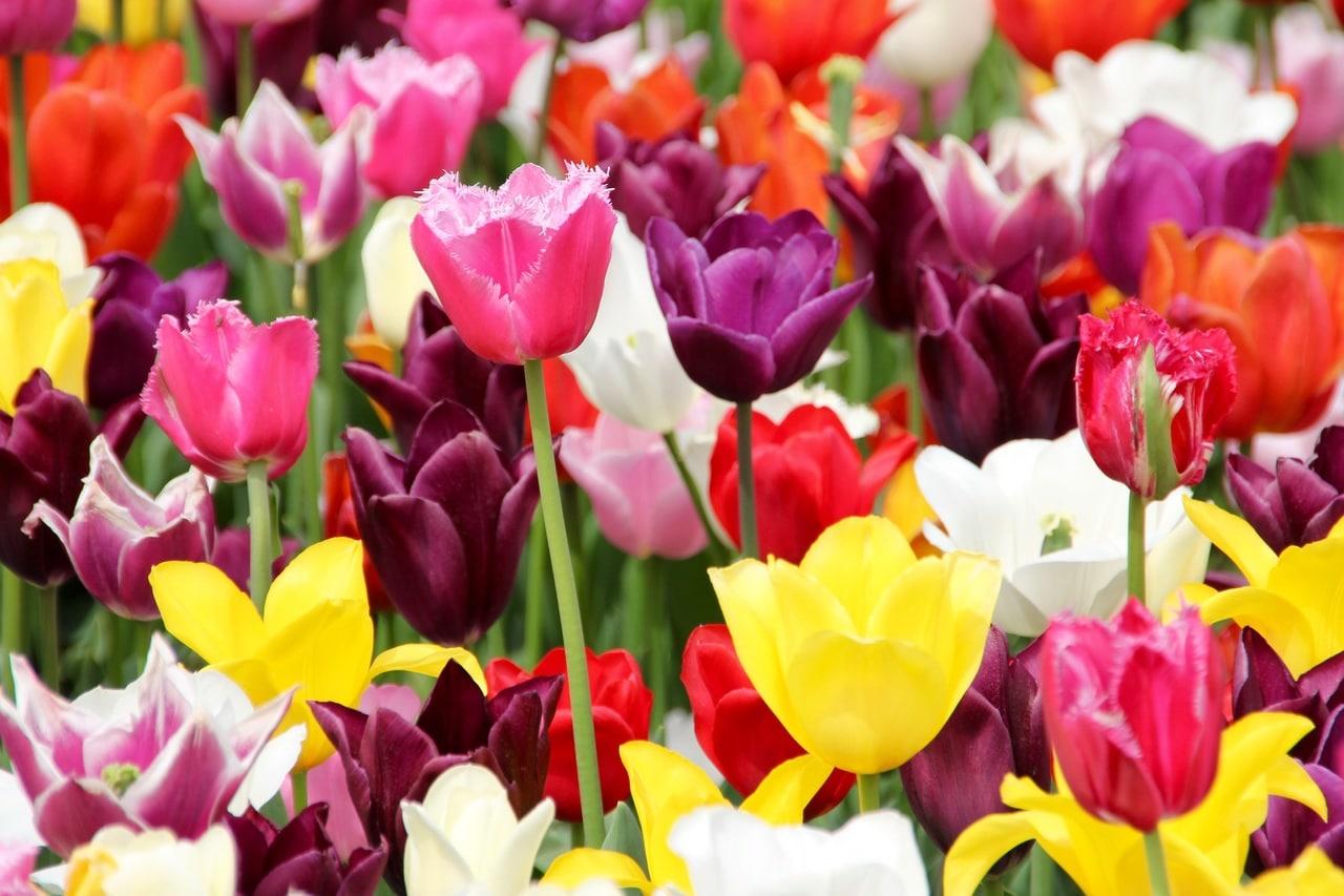 Los tulipanes son bulbosas que florecen en primavera, ideales para jardineras