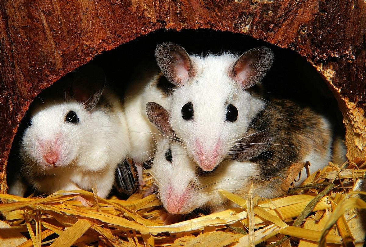 Crías de ratas y ratones