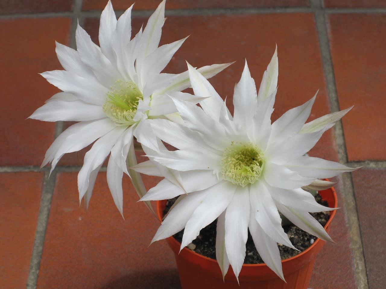El Echinopsis subdenudata es un cactus que produce flores blancas