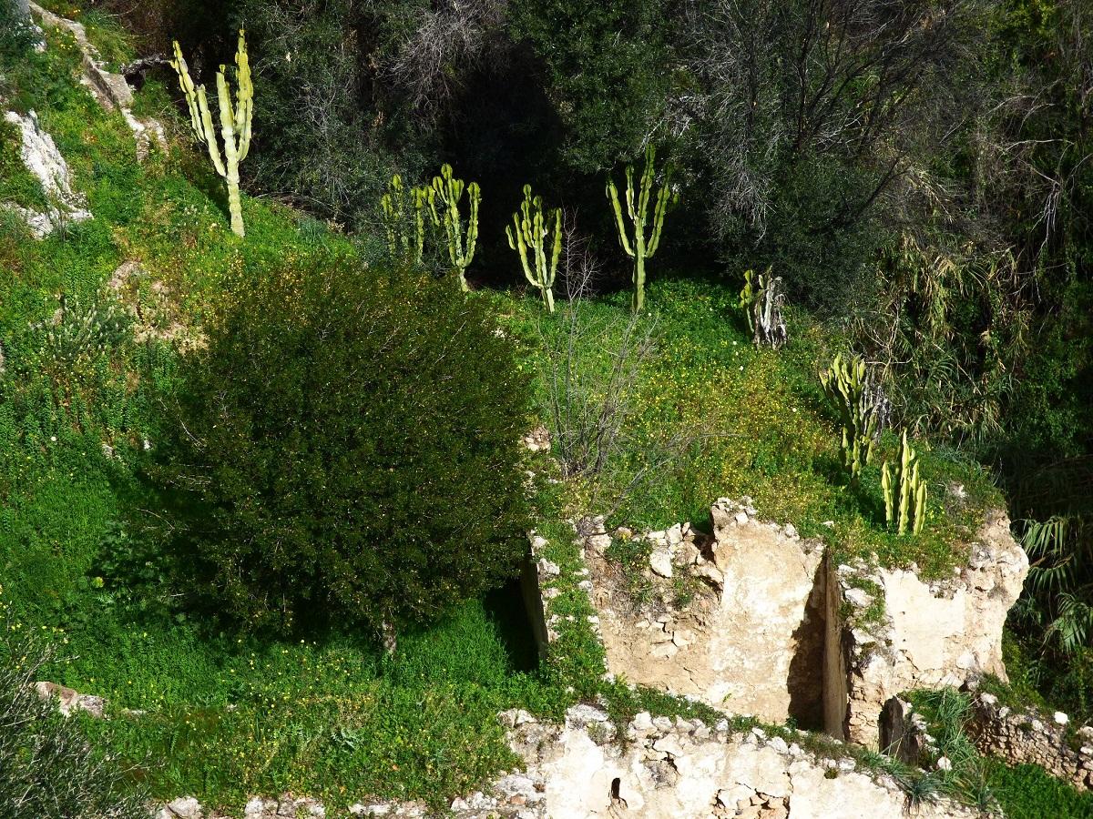 Euphorbia candelabrum colocada en un parque
