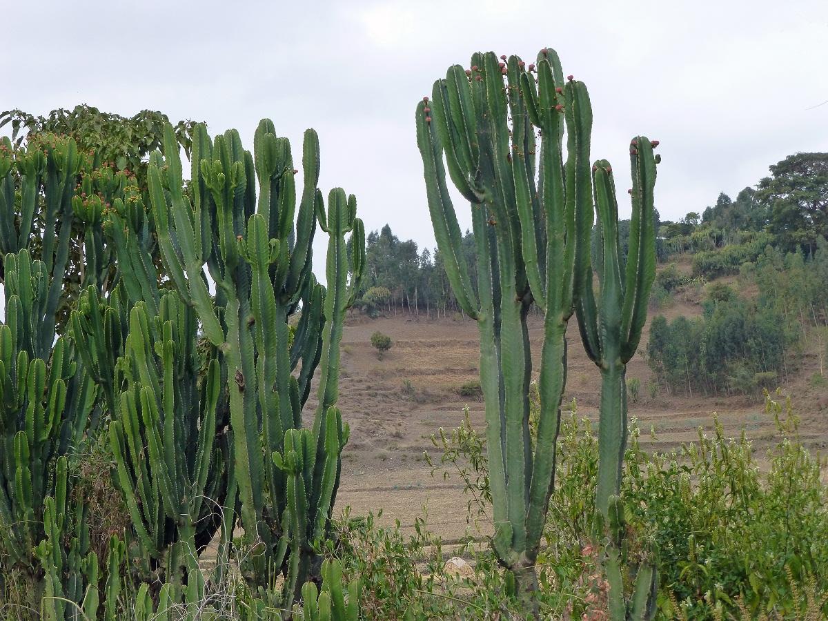 Euphorbia candelabrum llamado candelabro a mexicano