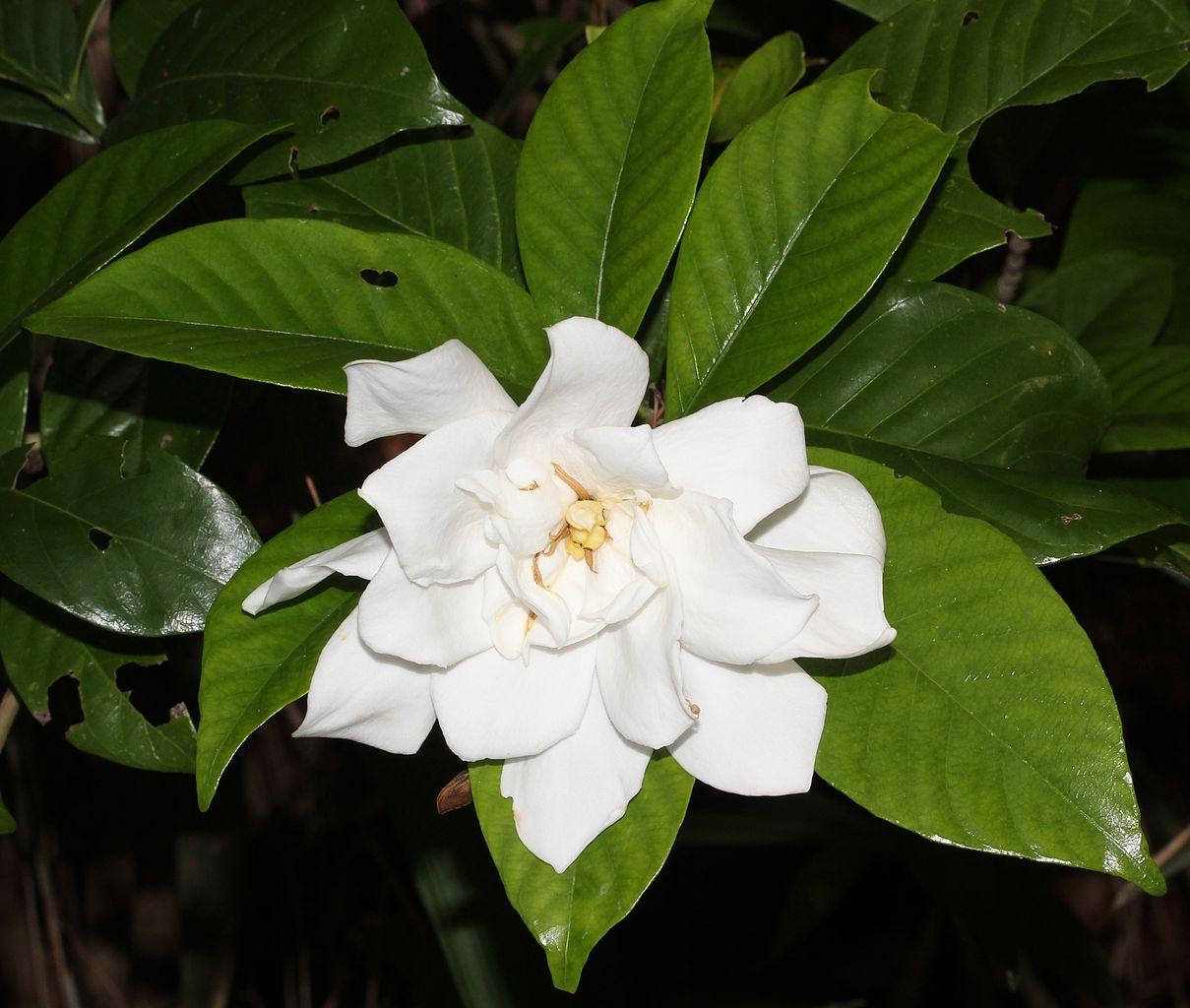 La Gardenia es un arbolito que produce flores blancas