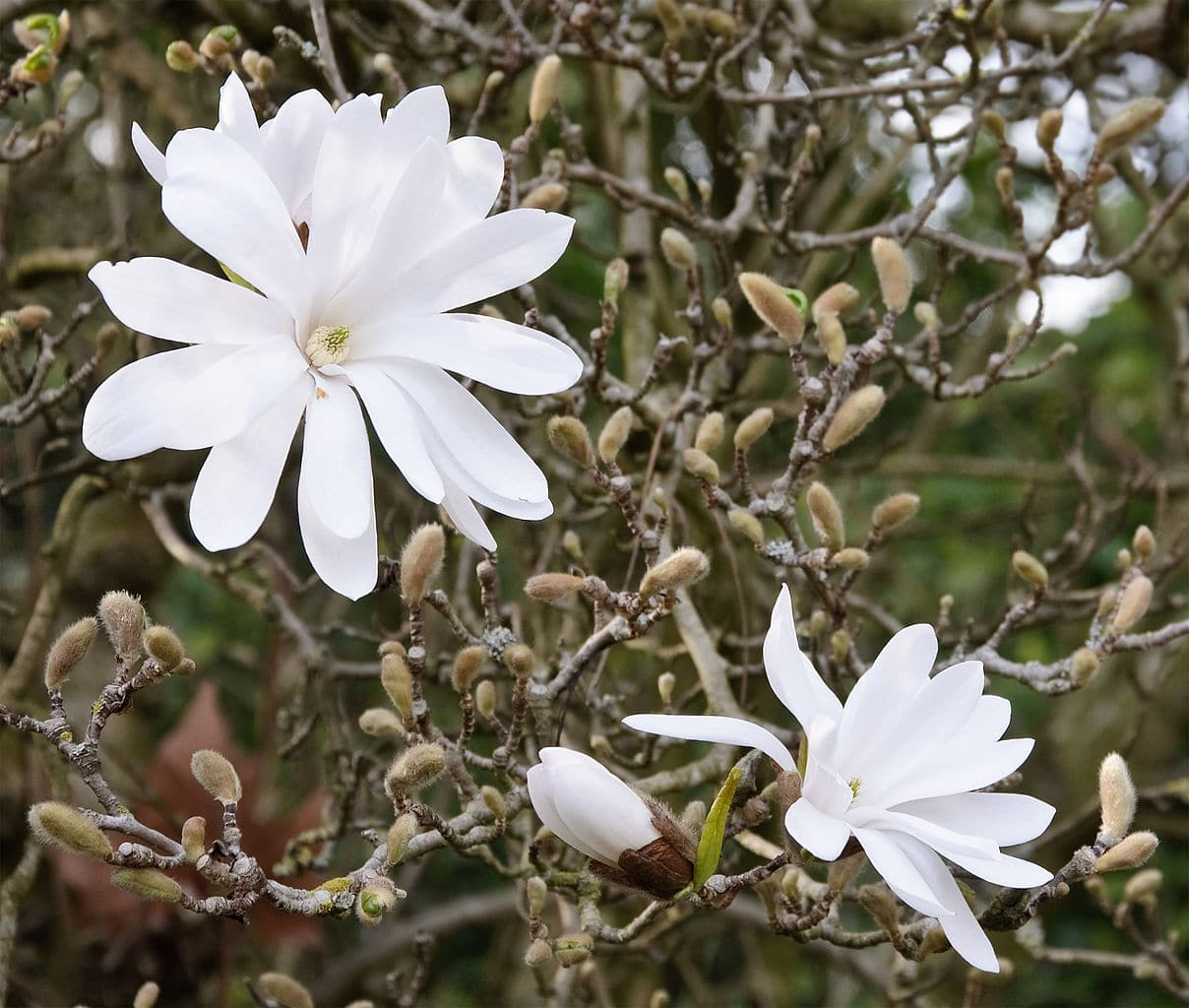 La Magnolia stellata es un arbusto caducifolio que produce flores blancas